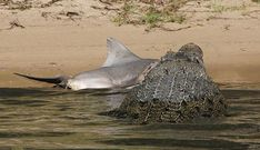 Croc vs. Shark: Giant Saltwater Crocodile Eats Bull Shark