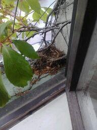 Ikkunalaudalta löytyi pieni linnunpesä. Poikaset olivat jo lentäneet pesästä.