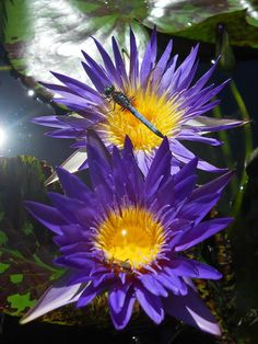 Blue Aster, day bloom tropical waterlily