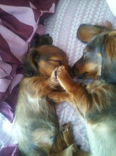 Two adorable Dachshunds sleeping. A mama and her baby fell asleep like this, so so sweet! For more cute dogs and puppies oh dear this is too cute Cute Puppies, Cute Dogs, Dogs And Puppies, Cute Baby Animals, Funny Animals, Wild Animals, Animal Babies, Love My Dog, Weenie Dogs