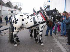 Spotted Noriker horse
