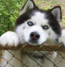husky - I love those eyes.