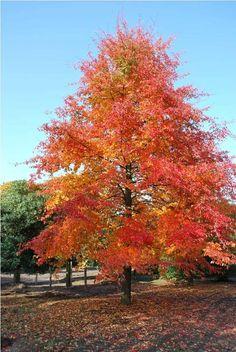 Nyssa sylvatica / Tupelo, automne, aime les sols humides, bords d'eau, coloration très vive et contrastée