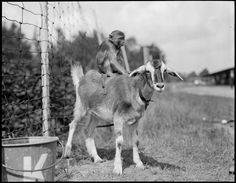 Even the American Dust Bowl was lousy with monkeys riding goats!