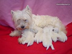West Highland White Terrier puppies!!!