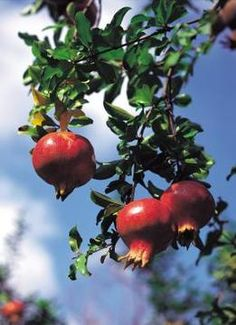 Growing Pomegranates. Two years before fruit grows. Worth it? Maybe...