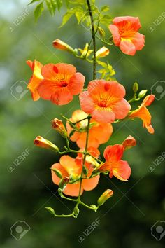 Chinese Trumpet Creeper Flowers In The Botanic Park Taipei,Taiwan. Stock Photo, Picture And Royalty Free Image. Orange Flowers, Wild Flowers, Beautiful Flowers, Botanic Park, Image Hd, Free Image, Campsis, Berry Plants, Japan Painting