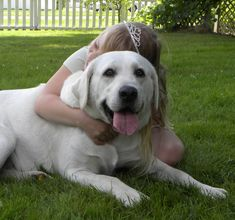White Labrador Retriever and White English Labrador Retrievers ...