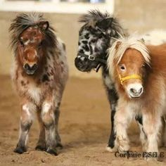 Mini horses. Double tap if you NEED one
