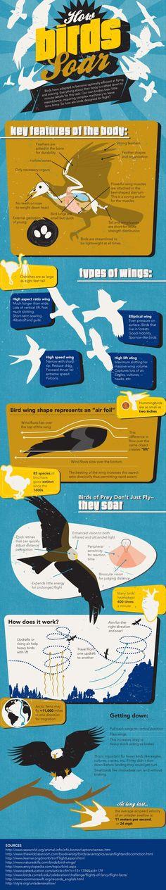 How Birds Soar[INFOGRAPHIC] #birds #soar