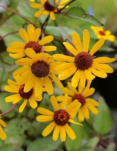 Heliopsis helianthoides var. scabra 'Summer Nights' 3-4' tall Grows to 3' wide, so plant 2-3' part in regular soil and divide every 4 years to keep it vigorous