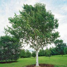 Betula utilis var.jacquemontii - West Himalayan birch - Dobbies Garden Centres