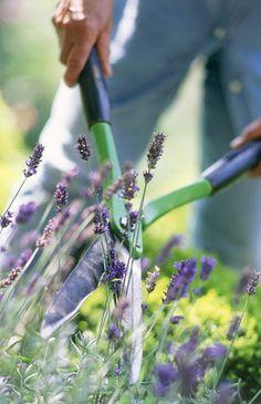 Het snoeien van lavendel.