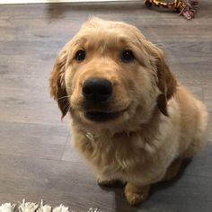 Meet our new baby boy Murphy. First week home and we love him oh so much! Golden Retriever Dogs and Puppies Amazing Dogs, Beautiful Dogs, Animals Beautiful, Super Cute Puppies, Cute Baby Dogs, Doggies, Dogs And Puppies, Golden Retriever Mix, Dogs Pitbull