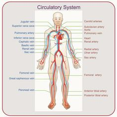 Circulartory system - Heart, blood vessels (arteries, veins, and capillaries), lymphatic vessels and nodes, spleen, thymus gland.