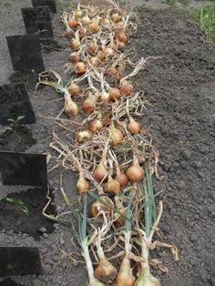 Au mois d'août, il est encore temps de faire un potager pour des récoltes hivernales. Il suffit de choisir des variétés résistantes au froid et au climat des régions. Il faudra tout de même penser à mettre un voile d'hivernage sur certaines cultures. Quels légumes semer ou planter pour réaliser le potager de l'automne et de l'hiver ?