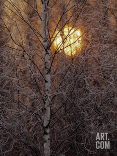 Frost-Covered White Birch Trees with the Sun Rising Behind Photographic Print by Raymond Gehman at Art.com