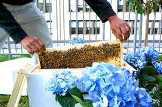 Bees in Times Square!: InterContinental Hotel Unveils New Rooftop Beehive