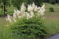 Filipendula ulmaria / Echtes Mädesüß / Rosaceae / Rosengwächse