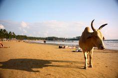 A cow on Palolem Beach, Goa, India