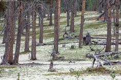 Jäkälikkö - Lappi jäkälikkö männikkö poronjäkälä harmaaporonjäkälä metsä mänty… Reindeer, Plants, Plant, Planets