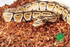 Always wanted a pet snake? Looking for a healthy and affordable snake supplier? Strictly Reptiles is an online reptile store that carries a variety of pet snakes for sale. We are listed among the top snake breeders online.   #PetSnakesforSale #petsnake #petsnakes #Petsnakeforsale #snakeforsale #snakesforsale #Ballpythonsforsale #BuySnakesforSaleOnline #BuySnakesOnline #SnakeBreedersOnline #WholesaleSnakes #WholesaleBallPythons