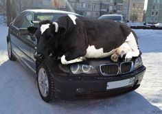 Funny pictures about Be Cow-Ful Before You Drive. Oh, and cool pics about Be Cow-Ful Before You Drive. Also, Be Cow-Ful Before You Drive photos. Funny Shit, The Funny, Funny Stuff, Funny Humor, Funny Quotes, Funny Pranks, Cow Quotes, Humour Quotes, Hilarious Jokes