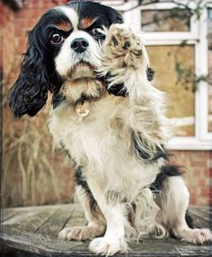 Cavalier King Charles Spaniel ... This is guna be the bread I choose. If I have a say. <3