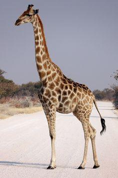 I love u so much giraffe!!! ❤❤