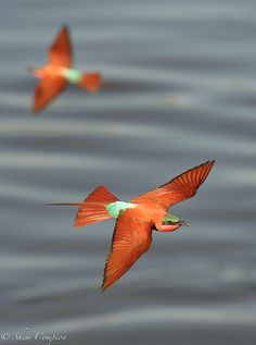 Southern carmine bee-eaters, photo by Shem Compion.