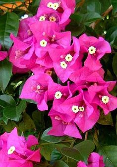 Find out how to grow Bougainvillea glabra Unusual Flowers, Beautiful Flowers, Potted Plants, Garden Plants, Decks, Plant Catalogs, Bougainvillea, Flower Photos, Trees To Plant