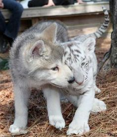 My two favorite animals <3 Husky and white tiger pups