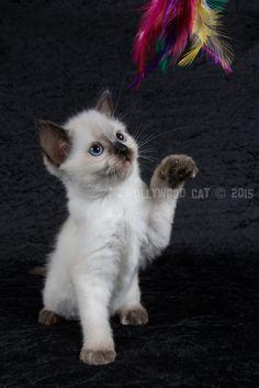 5: Loki A Zwollywood Cat 7 weeks old Ragdoll