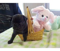 Easter Pug Puppies #pugs