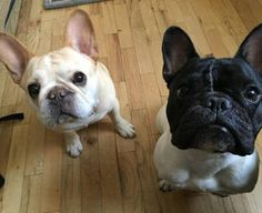 Walter and friend, French Bulldogs from thedailywalter.tumblr.com