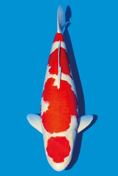 65Bu Kohaku O Fish, Koi Fish Pond, Common Carp, Koi Art, Salt Water Fish, Kohaku, Japanese Koi, Freshwater Aquarium Fish, Fish Farming