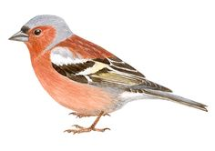 Pinzón vulgar   SEO/BirdLife