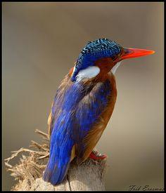 Malachite Kingfisher - Kruger National Park
