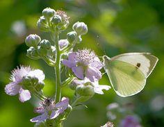 Капустница / Large White (Cabbage Butterfly) / Pieris brassicae / Зелева пеперуда / Grosse Kohlweissling by katunchik