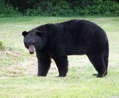 State Mammal of Alabama & Louisiana & New Mexico & West Virginia - Black Bear