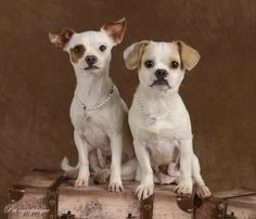 Sasha & Scarlett are daughter and mother, precious little jewels, debuting for adoption at Nevada SPCA (www.nevadaspca.org).  Sasha adores her mom and wants to grow up and be just like her.  We rescued the girls from another shelter so they could stay together forever.  They are petite Chihuahua mixes and both spayed.  Sasha is 10 months of age and Scarlett is 2 years of age.  Special thanks to Pet'ographique (www.petographique.com) for this exceptional portrait.