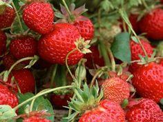 Portland u-pick strawberry patches