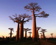 Legend holds that when the Baobab was planted by God, it kept walking, so God pulled it up and replanted it upside down to stop it moving.