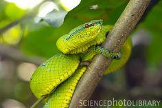 Wagler's pit viper (Tropidolaemus wagleri), Bako National Park, Sarawak, Borneo, Malaysia.