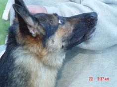 Learn about hip dysplasia in the German Shepherd breed and how to help lessen the likeliness of it happening with the HD-ZW system!      http://www.examiner.com/article/the-gsd-and-hd-zw-system-part-1