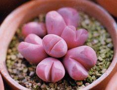 Lithops pink...