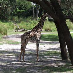 Disney's Animal Kingdom at Walt Disney World in Orlando, Florida, USA Florida Usa, Orlando Florida, Walt Disney World Orlando, Animal Kingdom, Giraffe, Blog, Travel, Animals, Giraffes