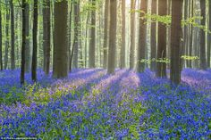 Bluebells at the Hallerbos forest in Belgium