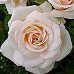 Porcelina - Standard Rose - Roses - Flowers by category | Sierra Flower Finder