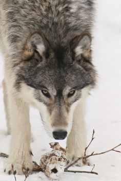 wolves | ... Of Wolf Delisting Rider.. » gray winter wolf _ all about wolves
